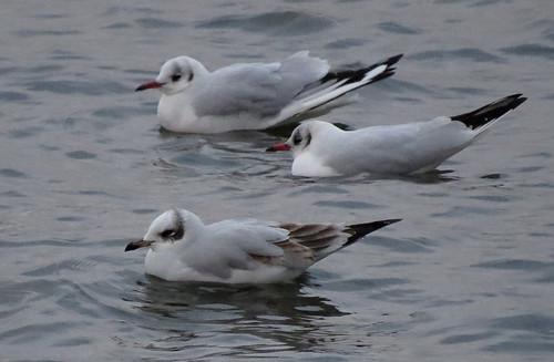 Mediterranean Gull Ichthyaetus melanocephalus Tophill Low NR, East Yorkshire January 2017