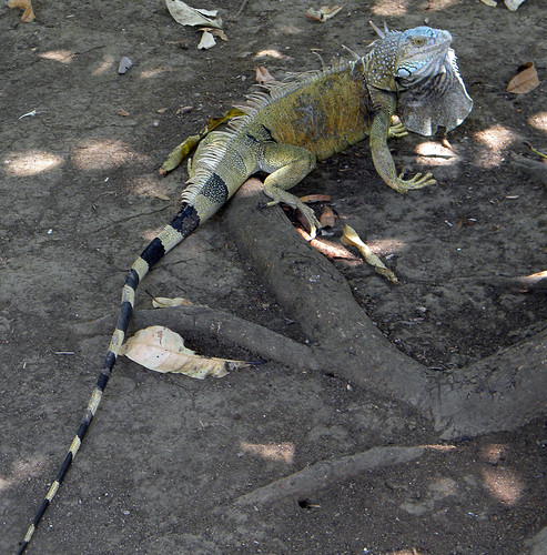 The big old iguana we called El Jefe. He lived in Franklin's backyard in Ostional, Costa Rica