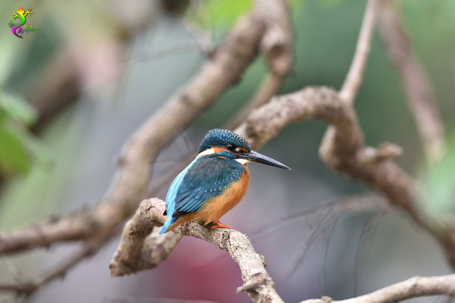 Common_Kingfisher_8986