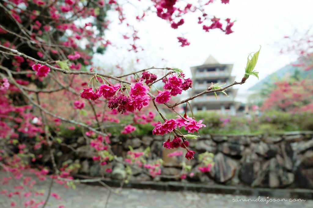 formosan-aboriginal-culture-village-cherry-blossom-entrance2