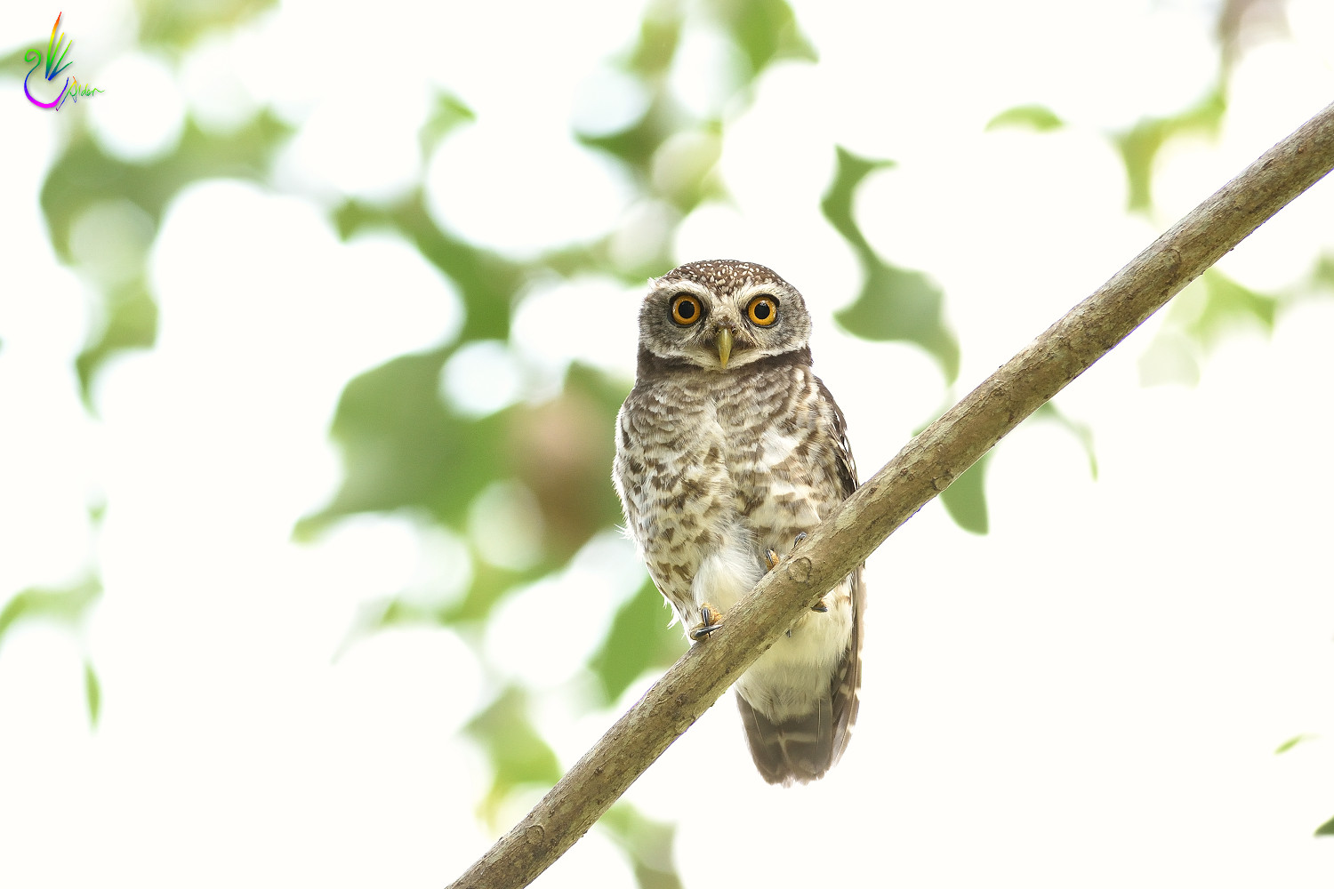 Spotted_Owlet_6849