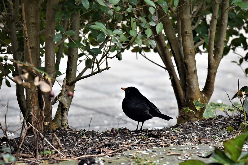 Blackbird 13.02.2017