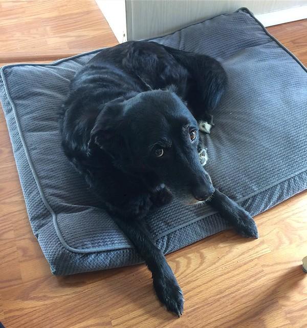 Maggie dog, begging for ________.