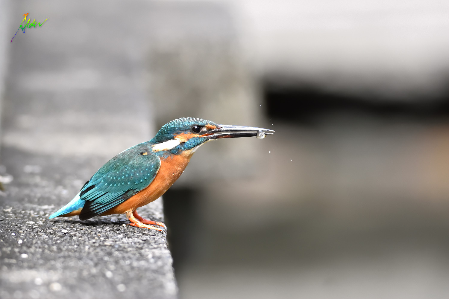 Common_Kingfisher_1168