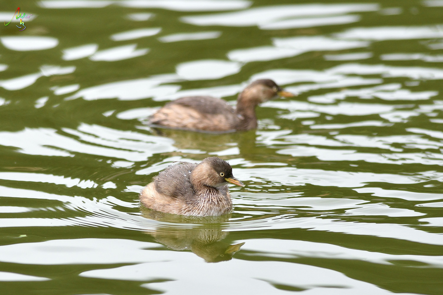 Little_Grebe_8563