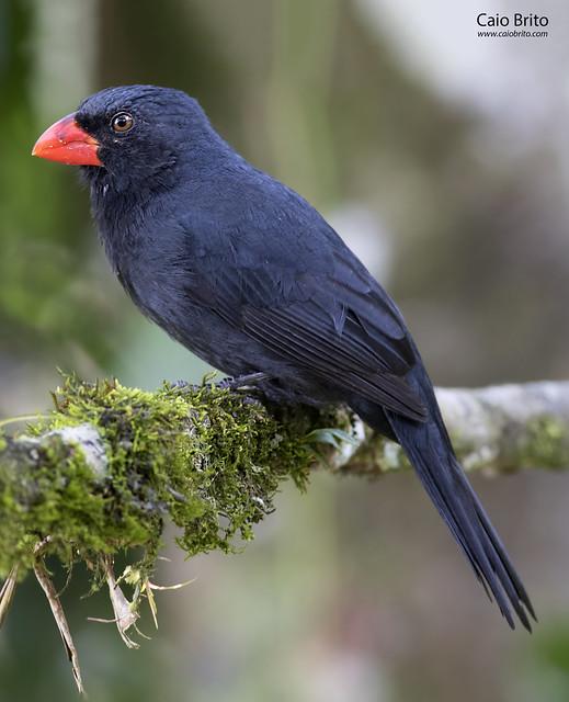 Black-throated Grosbeak (Saltator fuliginosus) - Tapiraí-SP