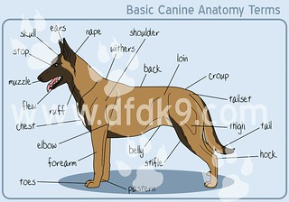 Basic Canine Anatomy | by DFDK9