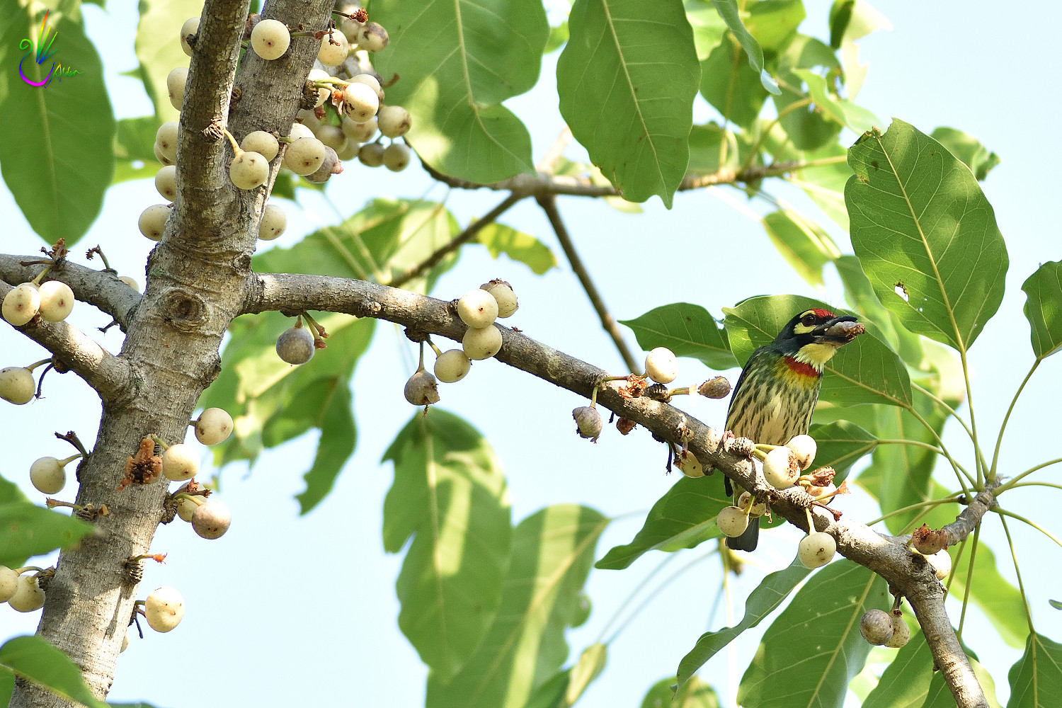 Coppersmith_Barbet_5859