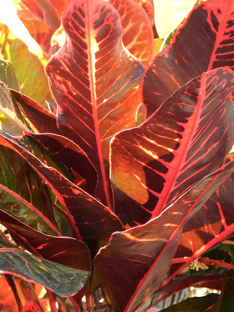 Leathery Croton leaves gaudy colours in Puerto Vallarta, Mexico