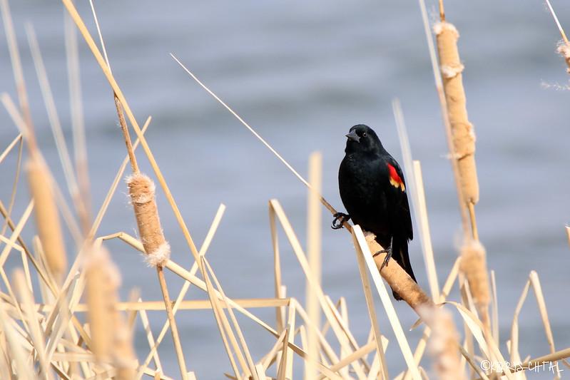 IMG_2193RedWingedBlackbird