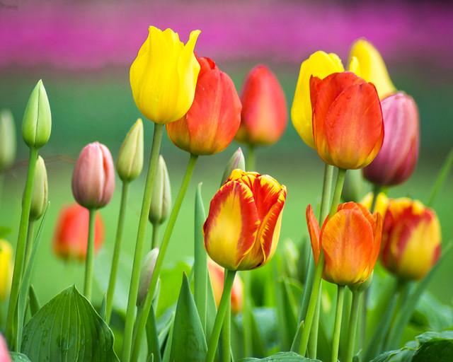 Tulip, Tulips, Flowers, Colorful, Blooms, Blooming, Spring