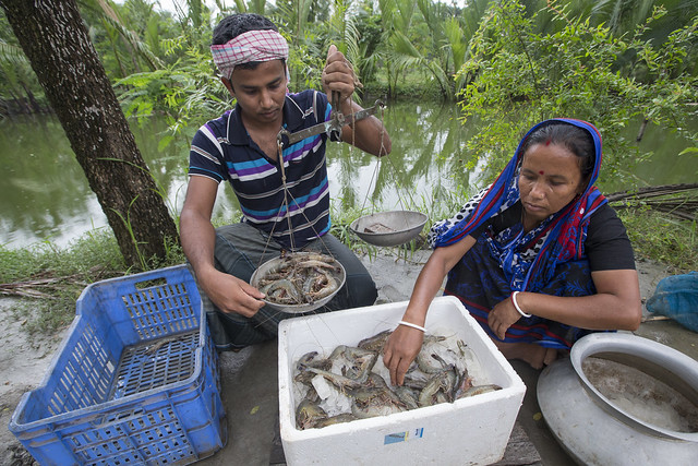 Weighing shrimps in Khulna, Bangladesh. Photo by Yousuf Tushar.