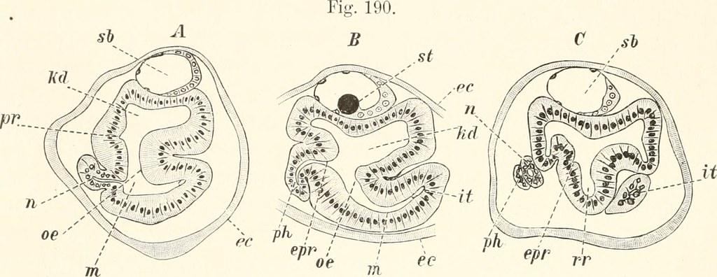 Nierenbläschen