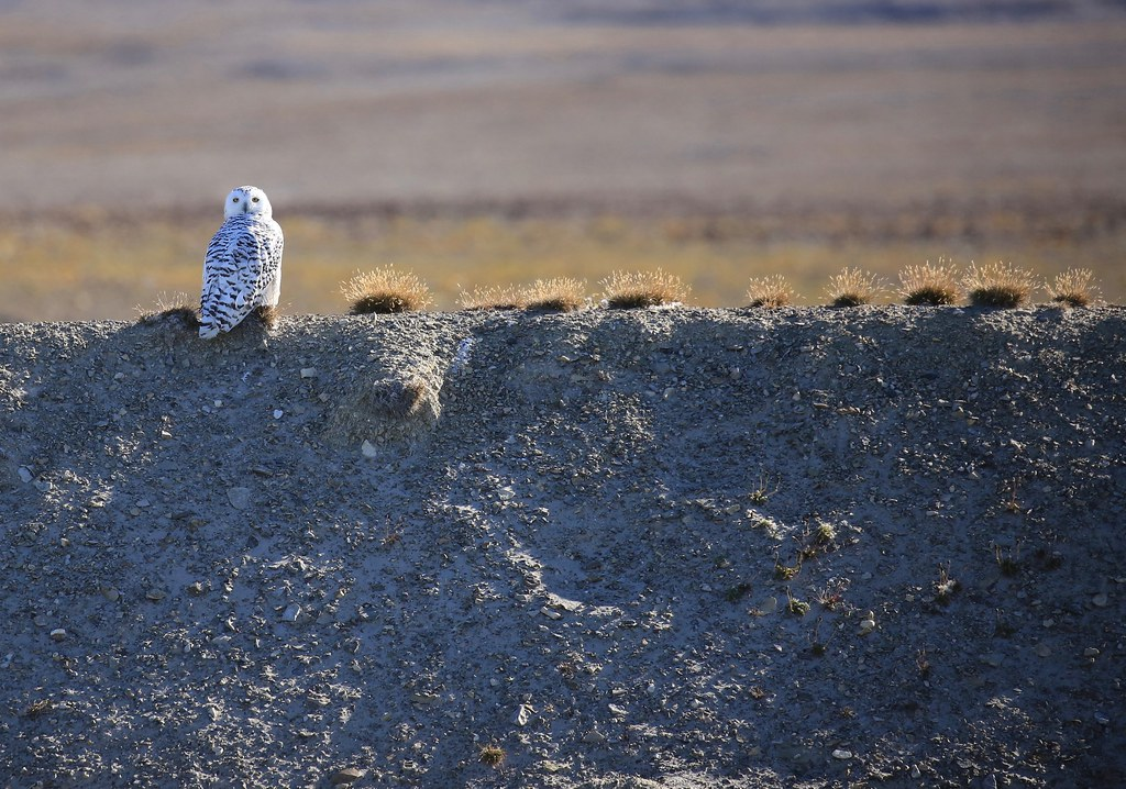 Snowy Owl Prince of Wales Island Canada Arctic | ngaire hart (lawson on stefansson island, hat island, baffin island canada, montreal island, princess island canada, prince albert island canada, devon island canada, royal island canada, axel heiberg island, frederick island canada, whose the prince of canada, kake canada, ellef ringnes island, king william island canada, clarence islands, prince of south park canada, prince of wales lodge canada, ellesmere island canada, canadian arctic archipelago, amundsen gulf canada, keith islands, admiralty island, king william island, ellesmere island, prince of wales hotel waterton canada, sutton island, swan island canada, charlotte island canada, baffin island, gjoa haven canada, prince charles island, prince of wales in canada, tasmania islands, teslin lake canada, gibson island, royal geographical society island, minto islands, prince william island canada, victoria island,
