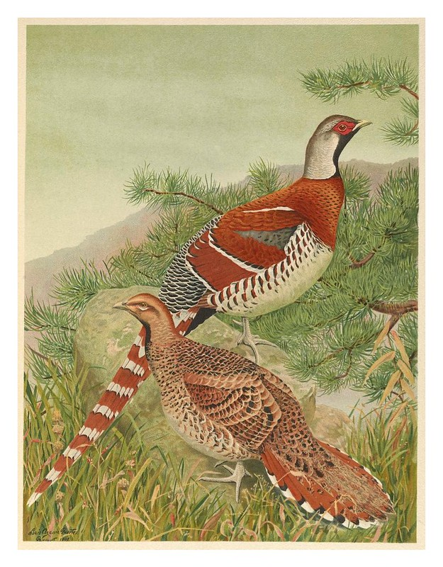 009-A monograph of the pheasants-1918-tomo 3