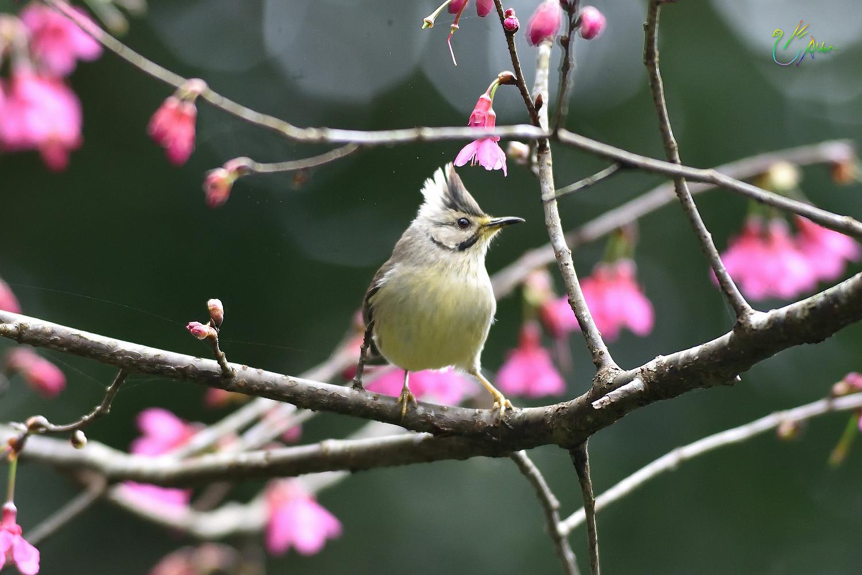 Taiwan_Yuhina_1599