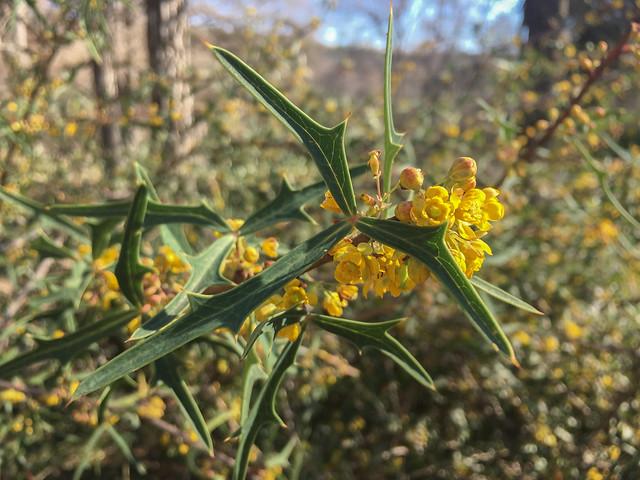 Blooming Agarita - 2