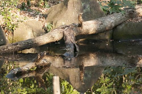 水浴びヒヨドリ