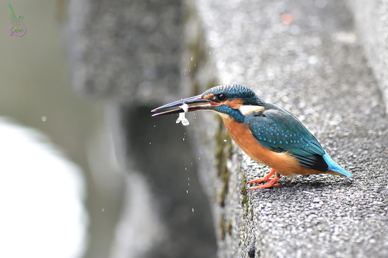 Common_Kingfisher_8164