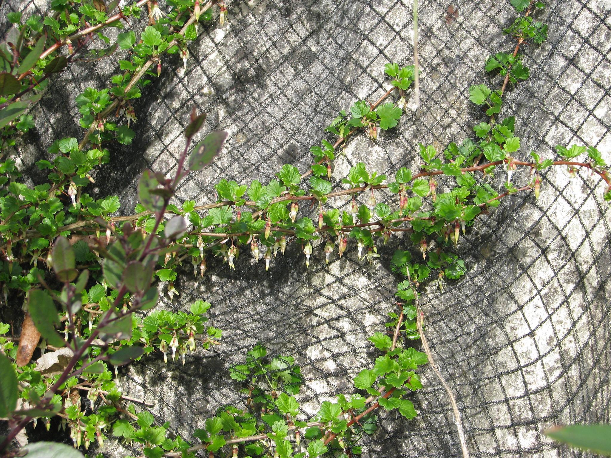 Ribes aff. californicum
