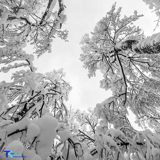 Winterwonderland_lookingupBW4 | by Tim_NEK