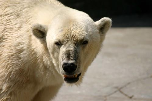 Mr. Polar Bear