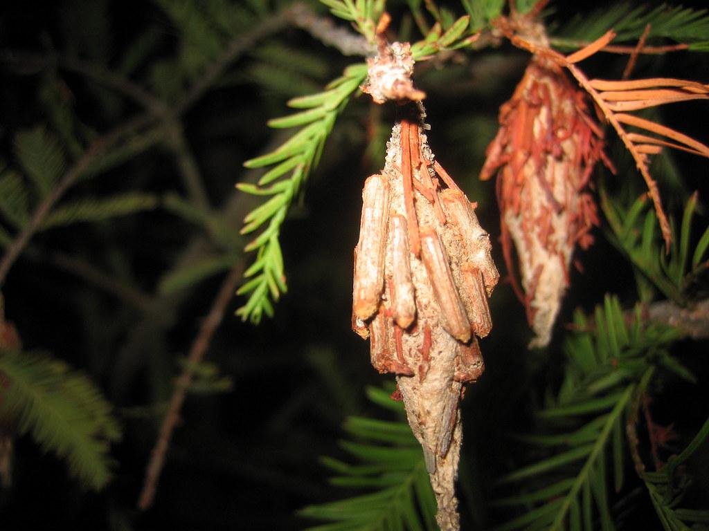 hanging bagworms scott hughes flickr. Black Bedroom Furniture Sets. Home Design Ideas