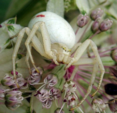 Up close and personal with Crab Spider | by Blue Adept