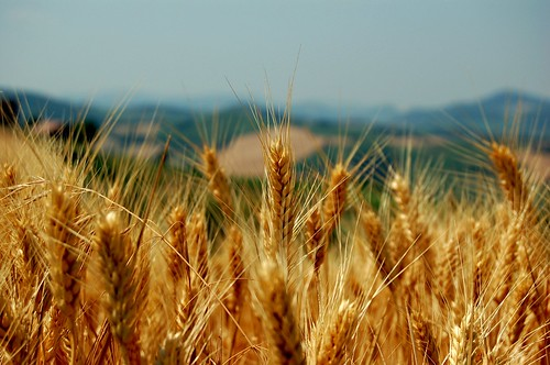 Wheat field - (Mornico Losana, 26 Jun 2006) | by Simone Merli