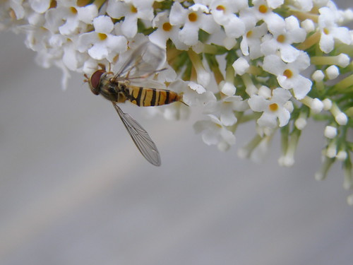Hoverfly on buddleia     (t272)(Goy) | by anchorphotos