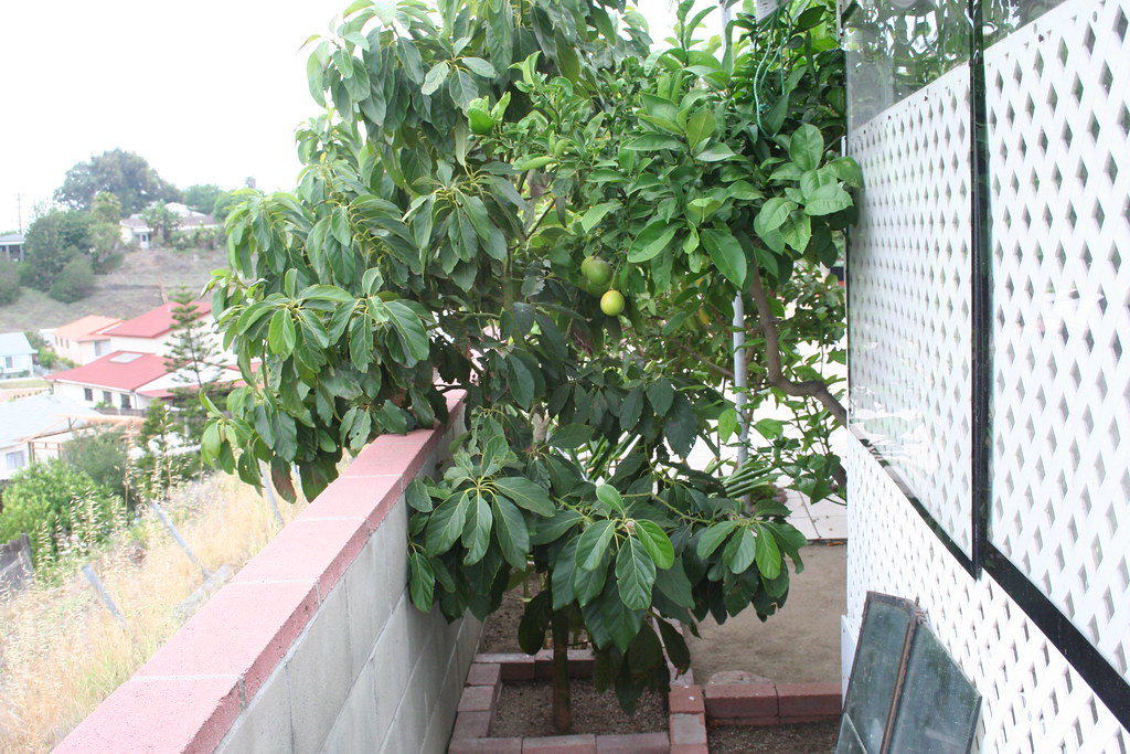 avocado tree and orange tree lola grew this avocado tree. Black Bedroom Furniture Sets. Home Design Ideas