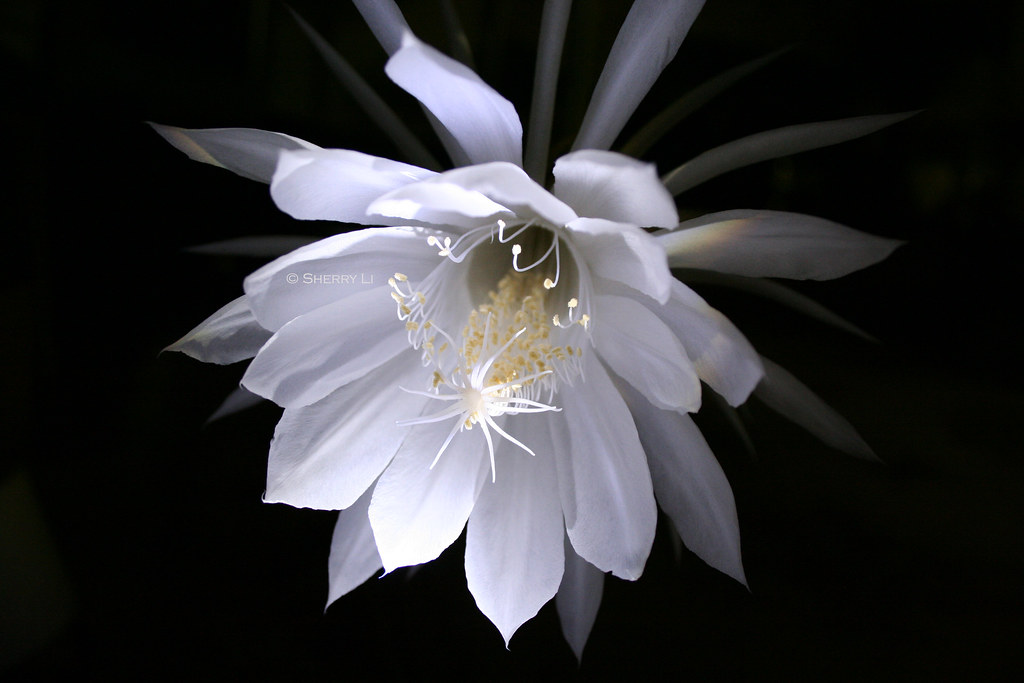 Queen of the night this gorgeous fragrant flower blooms on flickr queen of the night by sherry mightylinksfo