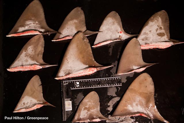 順得慶遭棄身的鯊魚,台外專家鑑定疑有黑鯊,以及列入CITES附錄Ⅱ名單中的紅肉丫髻鮫、鼠鯊。圖片來源:綠色和平組織提供