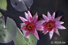 Nymphaea Ruby Star 2009 by Tony Moore