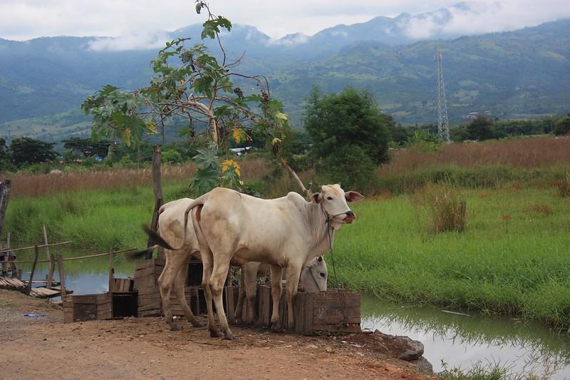 Бирма коровы