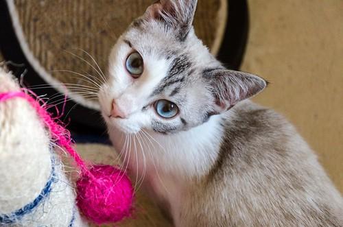 Iris, gatita cruce siamesa dulce y mimosona esterilizada, nacida en Agosto´16, en adopción. Valencia. ADOPTADA. 32506376233_b493c555d7