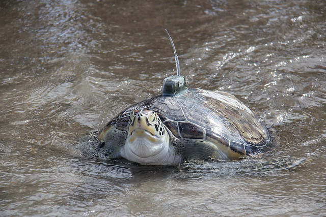 拿掉磨腳鐵牌,戴上海管處研究人員裝上的發報器,在群眾的祝福中,綠蠵龜重返大海。圖片來源:海生館