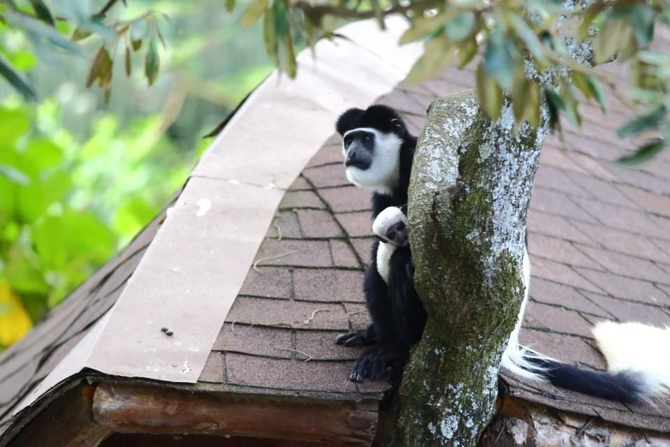棲息於渡假村莊園中的黑白疣猴。攝影:鍾坤典。