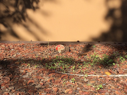 Amanita muscaria mushroom - IMG_9285