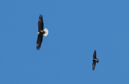 Bald Eagle and Common Raven