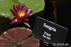 Nymphaea Sangria by Florida Aquatic Nurseries