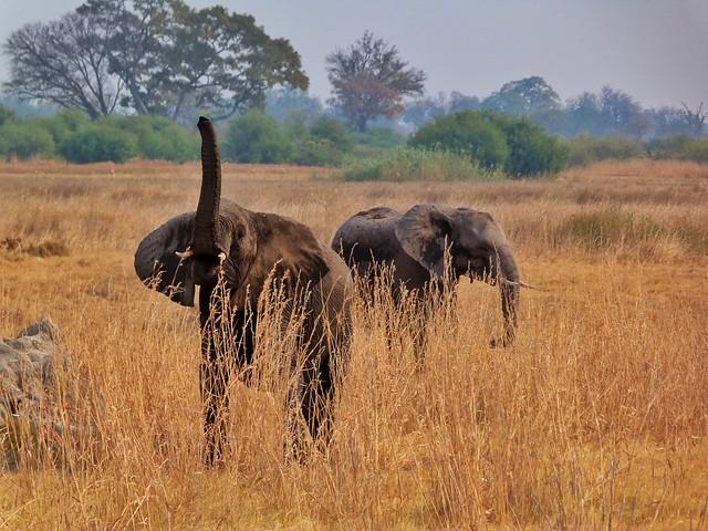 Elefantes en Botswana