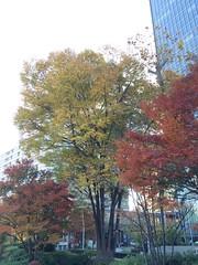 東京ミッドタウンの庭(檜町公園)の紅葉2015.12.7