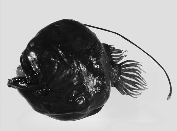 蟾鮟鱇(Bufoceratias)的吻觸手位於背部,長度往往比身體還要長。圖片作者:何宣慶。