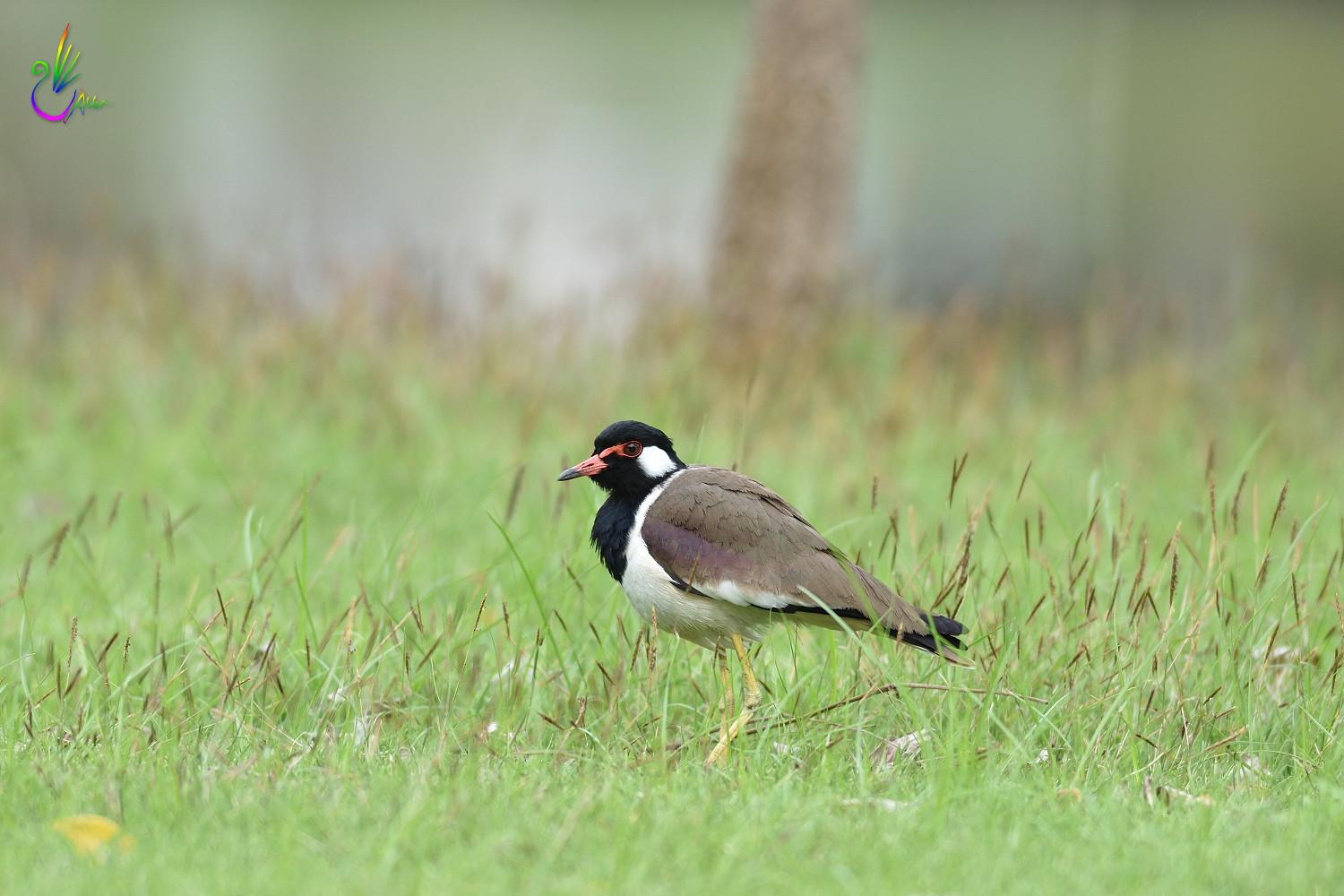 Red-wattled_Lapwing_3353