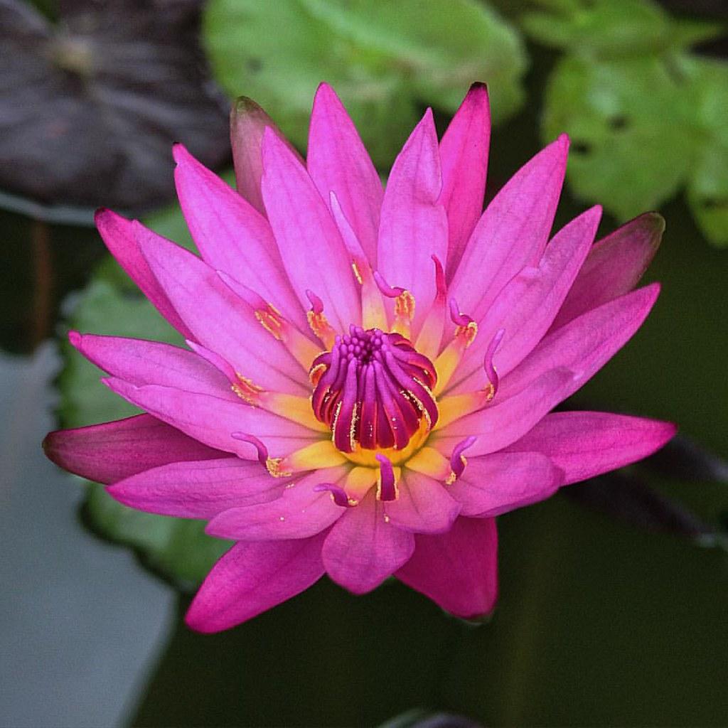 Lotus Flower Water Petals Petal Instagood Instalike Flickr