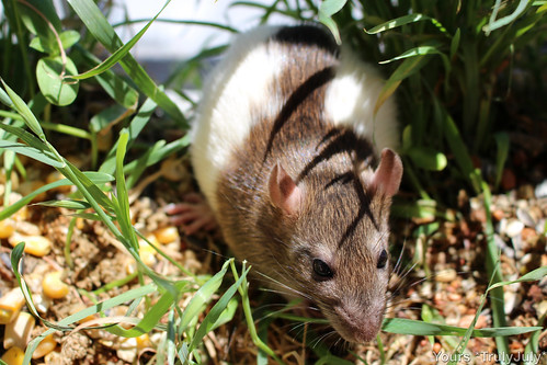 Growing wheatgrass from the leftover seeds also provides the ratties with a piece of nature to explore.