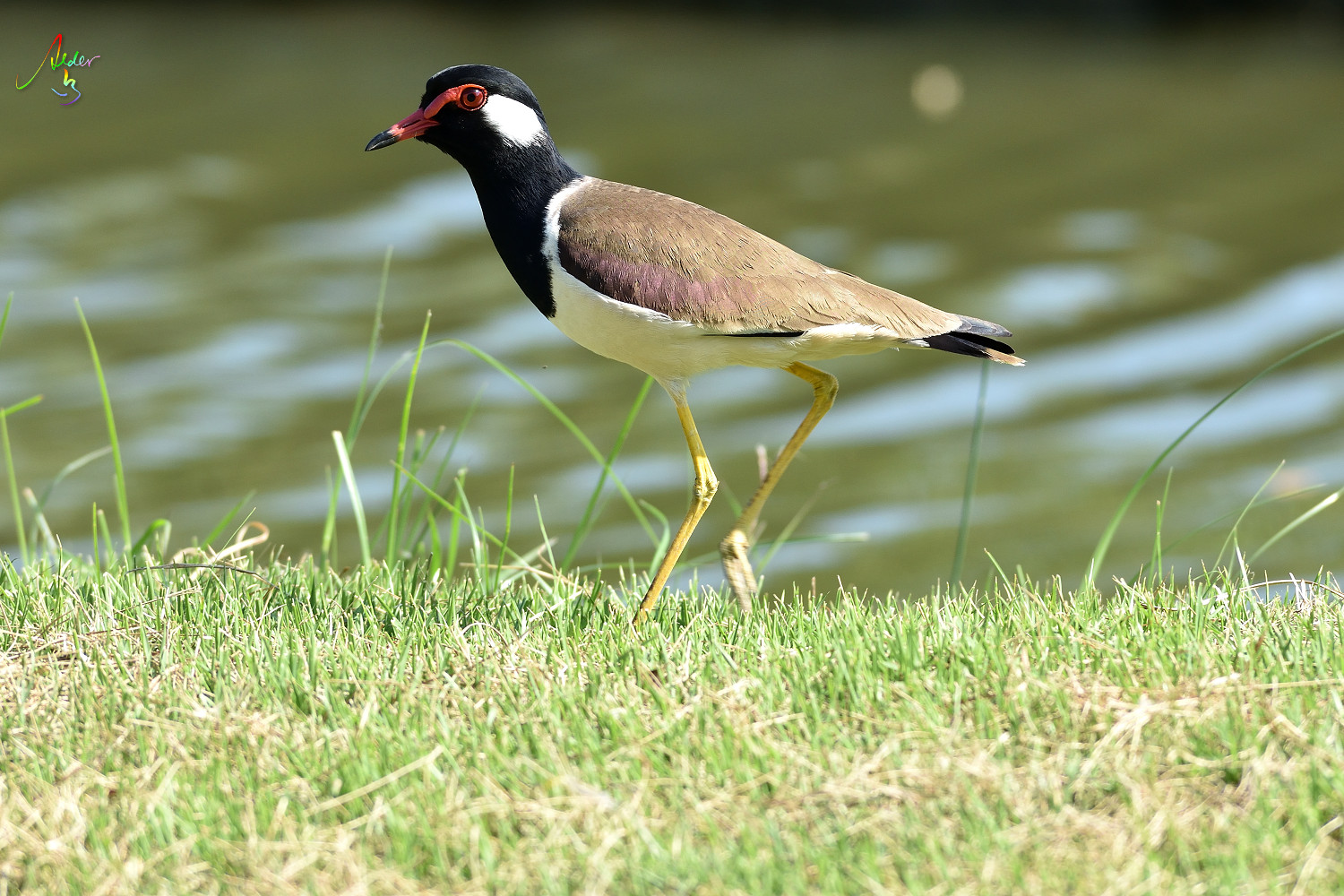 Red-wattled_Lapwing_8834