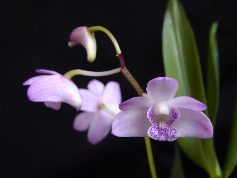 Dendrobium kingianum - Seite 5 32821713980_f689e8aff0_c