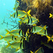 porkfish at the coral reef key west sailing adventure vacations